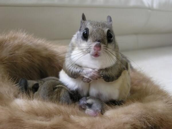 Flying squirrel, with young. http://t.co/GfTN9ZZJ1V