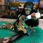 """@ThatsEarth: Two-year-old chimpanzee ""Do Do"" feeding milk to ""Aorn"", a 60-day-old tiger cub. http://t.co/7MqYzzu43g"" Lets do more of this!"