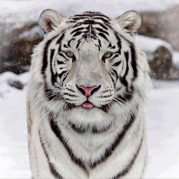 """TIGRES BRANCOS NÃO SÃO SIBERIANOS, isto é, nunca houve documentação científica sobre tigres da subespécie """"Pa http://t.co/VxL8jMK2T7"""