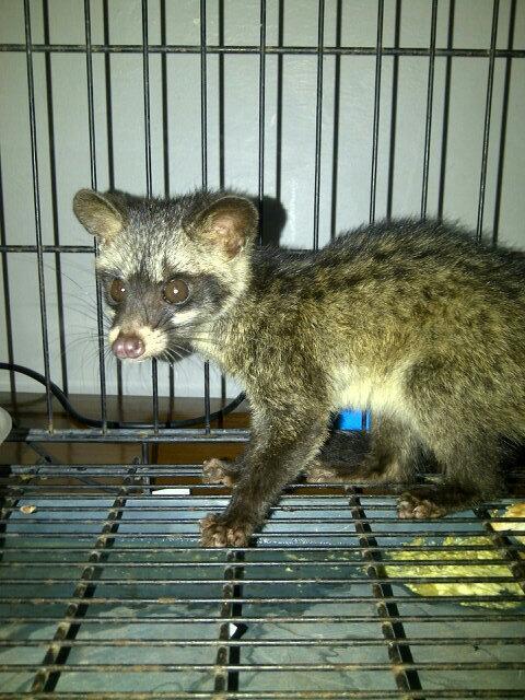 Anak musang pandan 4 sale. Umur 2 bulan lebih. Bole dm kalau berminat. Hanya untuk pet lovers #kltu #klrb #tweetniaga http://t.co/REjbaVIyzu