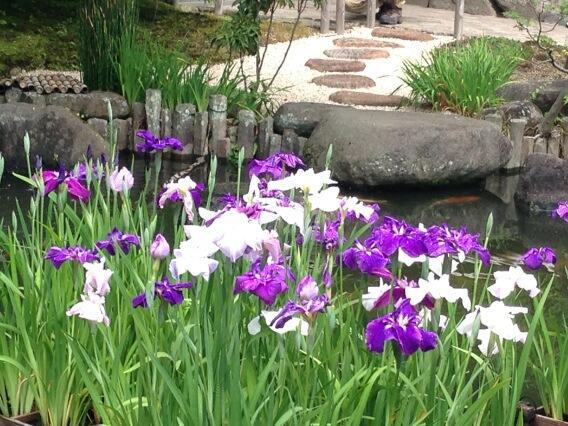 RT @kumakumacci: Irises and stepping stones http://t.co/YtZiqTA6Iv