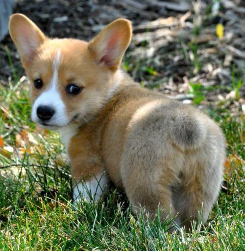 It's our birthday today, so what better way is there to celebrate than with a classic  #corgibutt http://t.co/XIUa0gBvYk