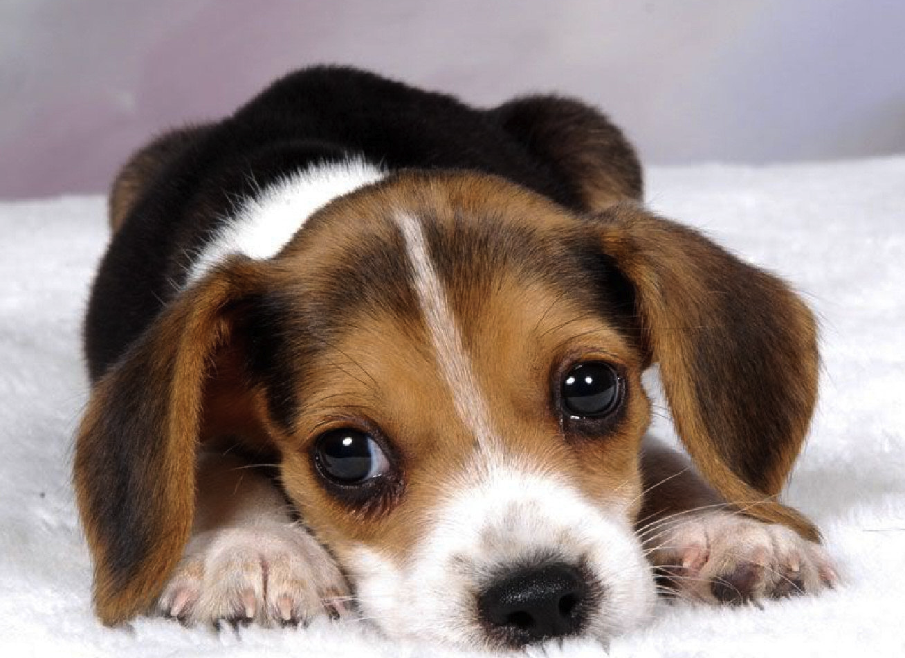 Beagle puppy, on a carpet. http://t.co/S3EErtwDFn
