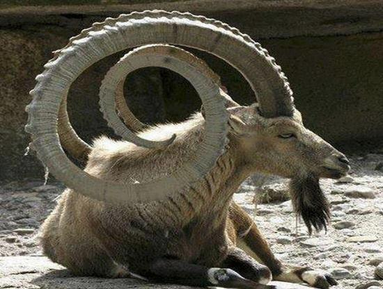The ibex. Horns are so strong that if jumps from a mountain it can land on its horns and be unharmed by the fall... http://t.co/h2YFG231jg