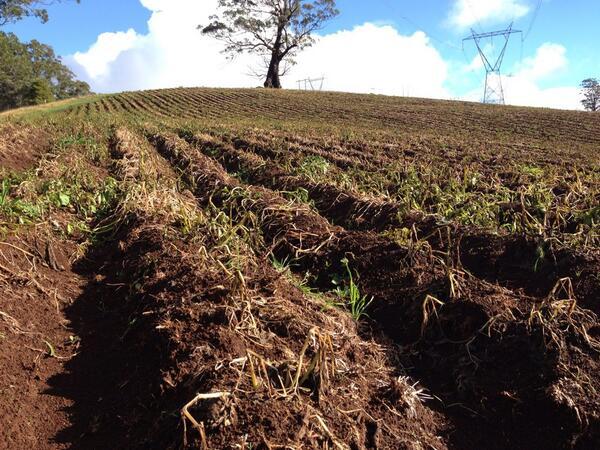 Potato field. #tweetedfarmwalk @zoerose22 http://t.co/A10CrOl9Zd