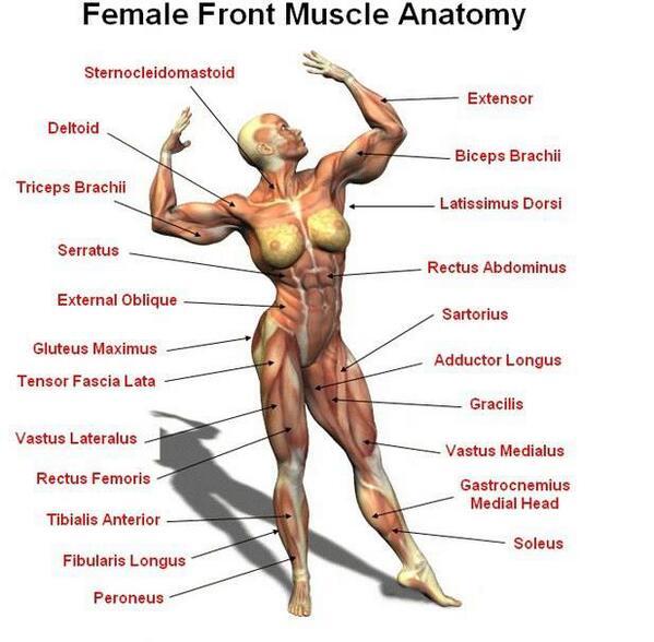 Female Muscle Anatomy http://t.co/8ykCfSX8Mp