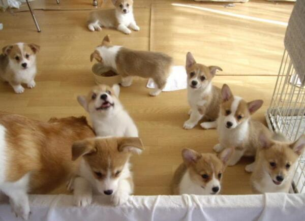 Corgis, corgis everywhere. http://t.co/1X5LmD2aPl