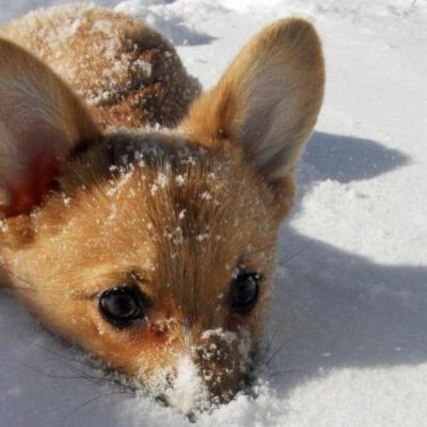 To everyone suffering through summer right now, here's a corgi puppy in the snow to help cool you down. http://t.co/Ee3RSBfkU9