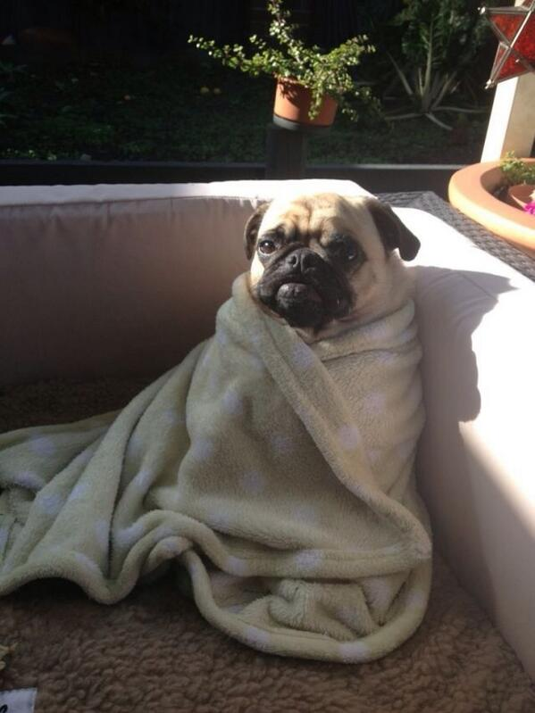 @shafer1426 @megan_AI pugs in a blanket. http://t.co/zvop8wI9Tg