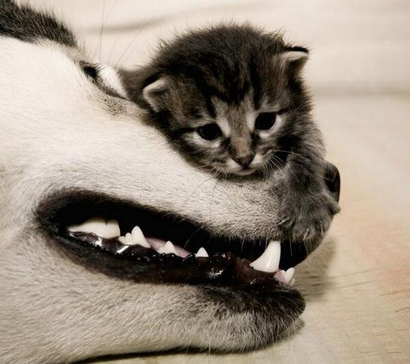 剛よく重をせいする!こんな柔道の言い回しあるよね(^_^;)ちがうか〜 RT @kawanimals: おっきいのとちっこいの http://t.co/yuePnOmLOy わんこと子猫