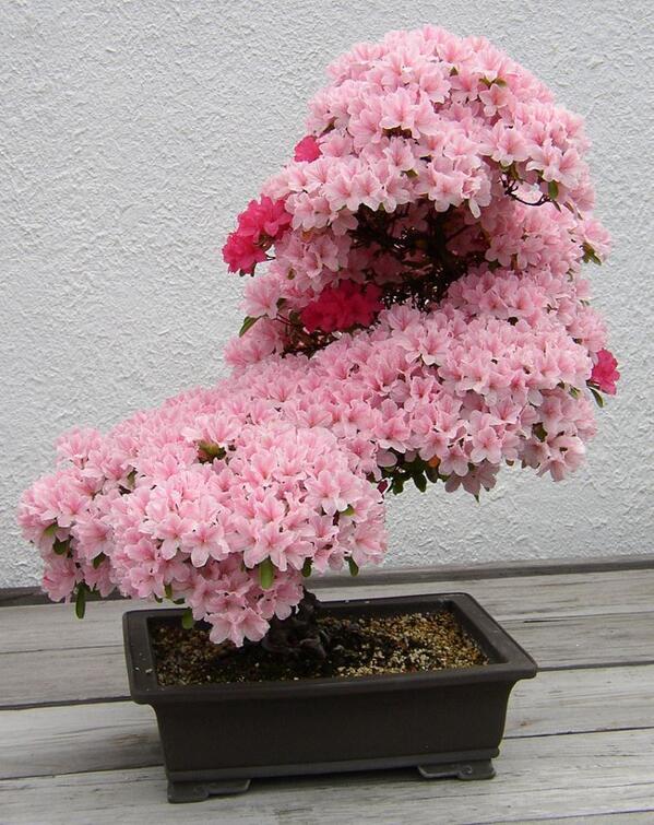 Bonsai Azalea in Full Bloom http://t.co/kIU36JY4bv