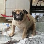 Adorable 3y/o male pug looking for a home. http://t.co/qZ8bEYOYJW
