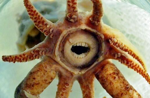 El calamar bocazas ha sido bendecido por la naturaleza con una especie de boca humanoide. http://t.co/BJQhLyBLZj