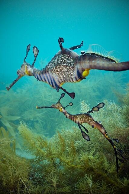 Sea dragons, amazing creatures! http://t.co/uNwjw7Hquf