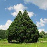 トトロの木の画像 東京の杉並にあるそうです