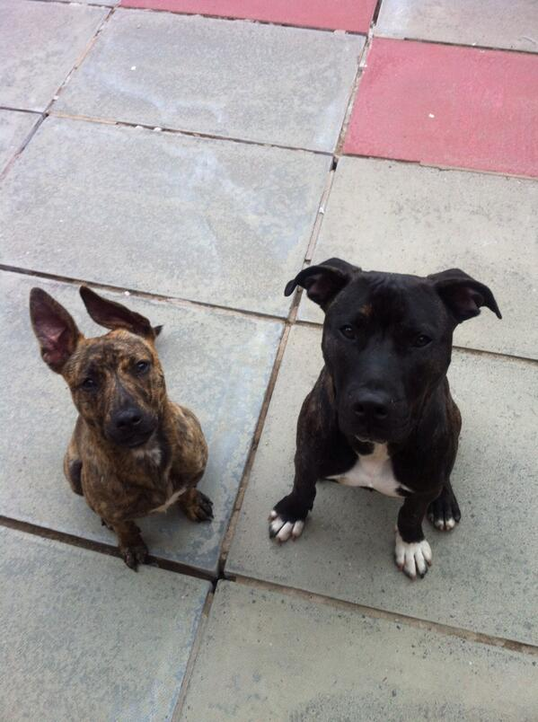 Blake & Billy (@Brindleboys): Give us a biscuit! http://t.co/3YUwgCLNTr