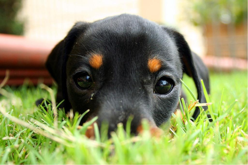 Puppy, laying in the grass. http://t.co/HRker8dEEL