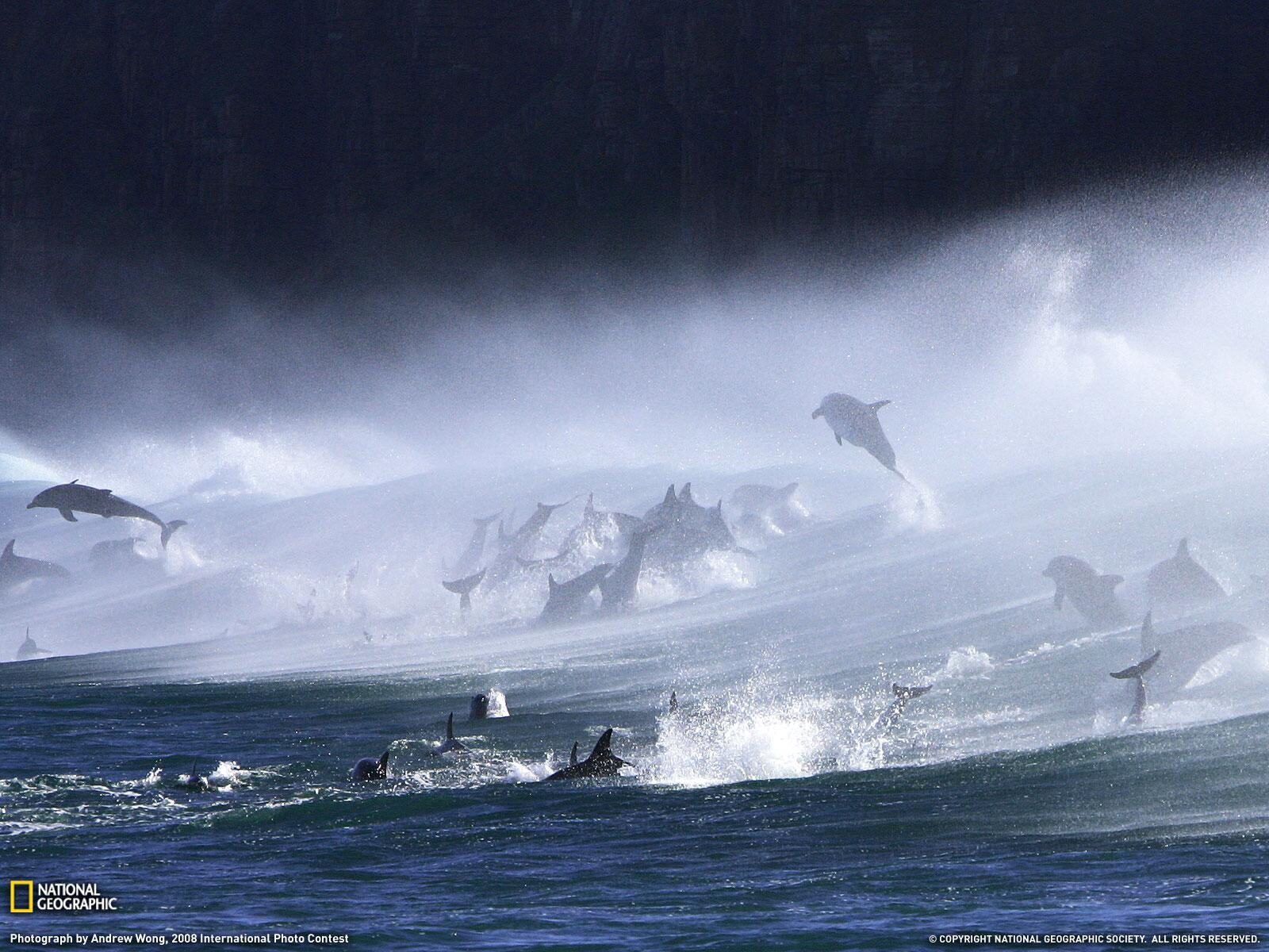 Pod of Bottlenose Dolphins Playing in the Waves http://t.co/nB575PaXbB