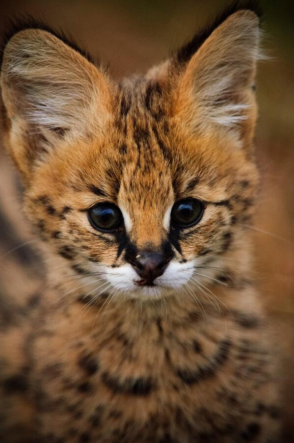 Close-up of a Young supercute Serval kitten! http://t.co/RubX4WrMaG