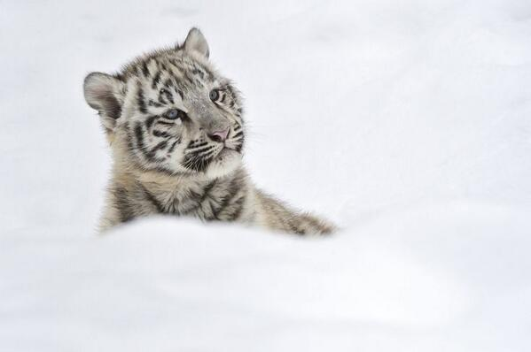 Adorable White tiger cub in snow! http://t.co/C1Ixps2Gi4