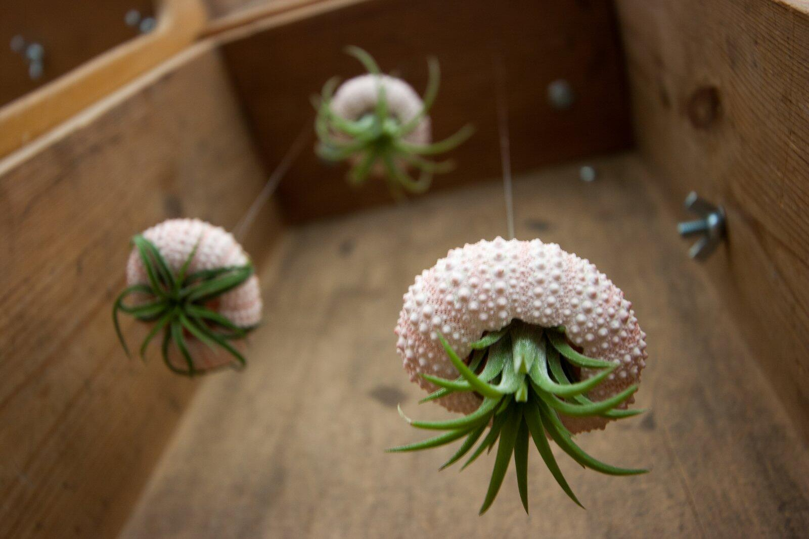 Here they are again - Tillandsia cunningly disguised as jellyfish using sea urchin shells. http://t.co/bC5vMoxTs9