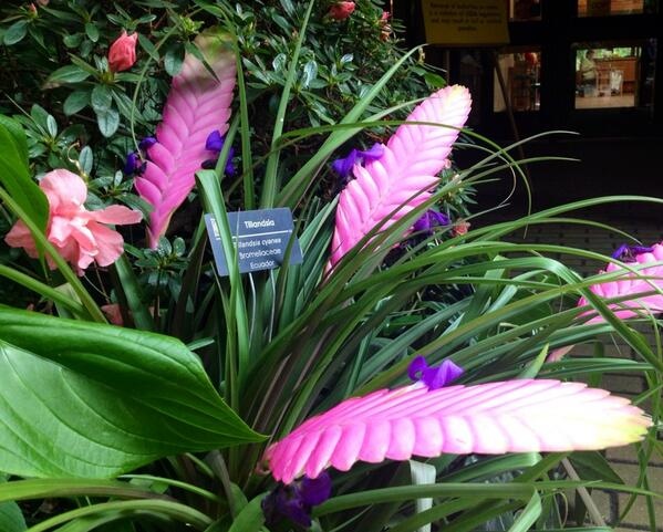 A gorgeous tillandsia plant at Olbrich Gardens in the Blooming Butterflies exhibit. http://t.co/1HZM68qhxM