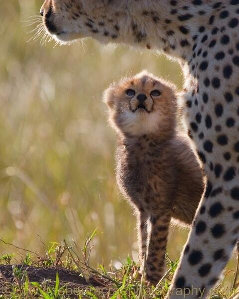 RT @awwclub: Baby Cheetah http://t.co/GcVtZ89wwJ