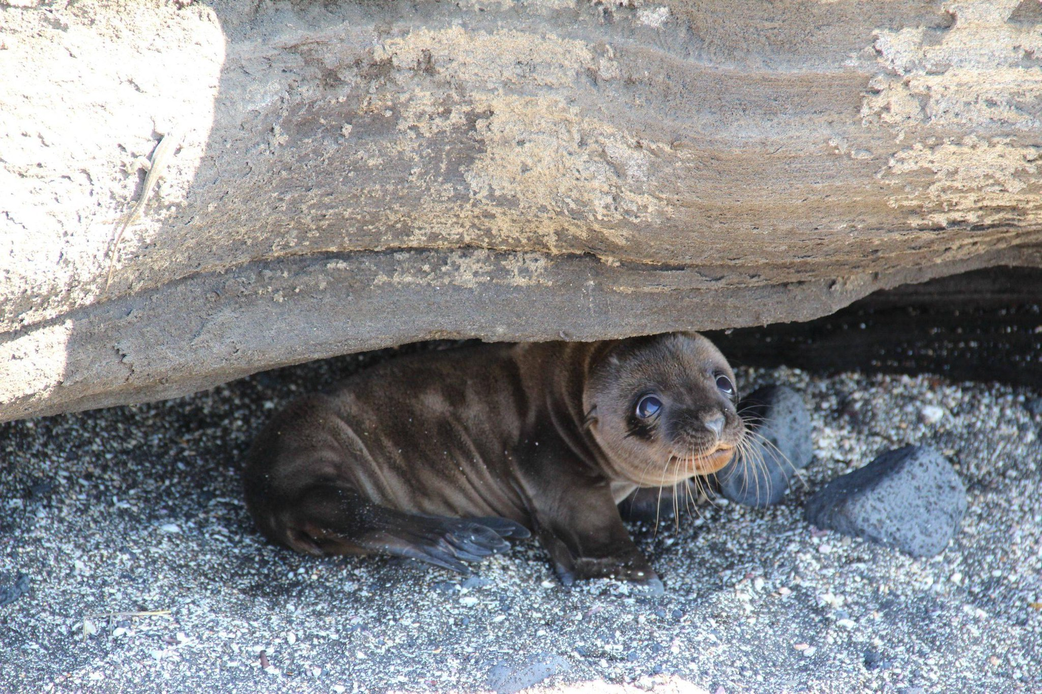 Seal pup, hiding under a rock. http://t.co/xptCfDEcAV