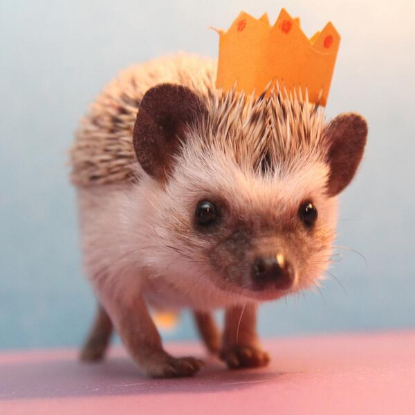 王様 #ハリネズミ http://t.co/VmPfIsZyS7
