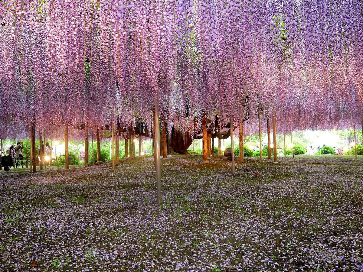 Giant Wisteria Vines at Ashikaga Flower Park, Japan http://t.co/joWvg8QR5r