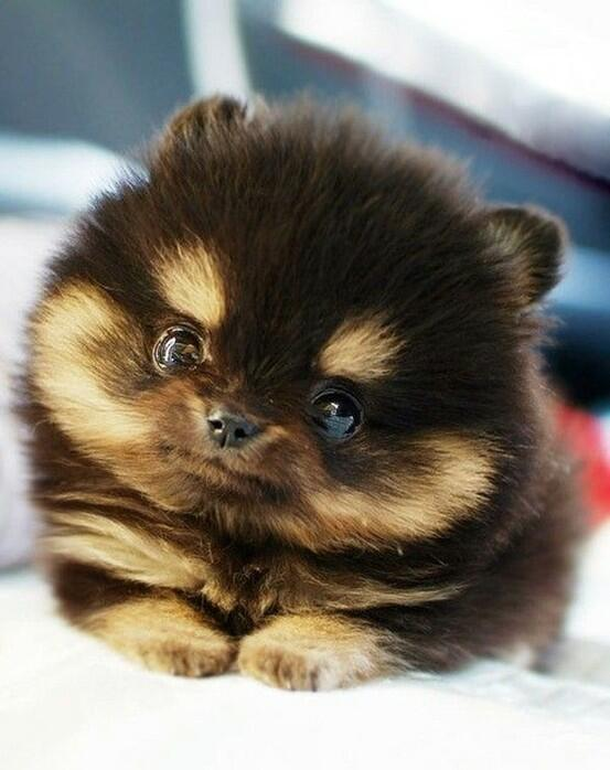 We're stuck in a debate and need your help. Is this pup #toofuzzy or #notfuzzyenough? http://t.co/PNJytjohli