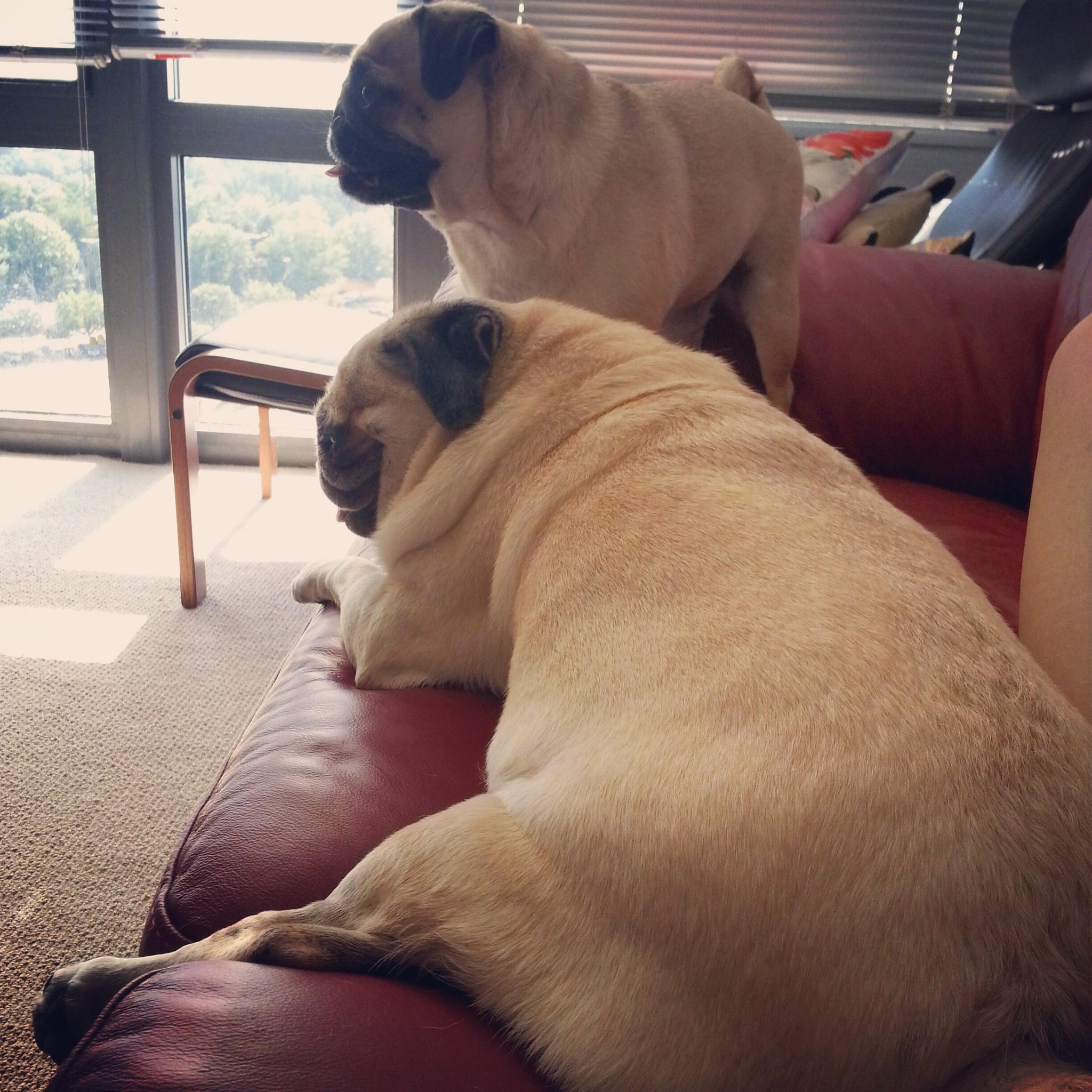 Melty pug is getting stuck in the sofa http://t.co/3NkhoyFc16