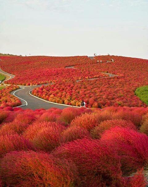 test ツイッターメディア - 【ひたち海浜公園・茨城】 春はスイセン、チューリップ、初夏にはネモフィラ、バラ、夏にはジニア、秋にはコキア(ほうき草)、コスモスと、四季を通して様々な花が織りなす風景を楽しめます。写真は秋のみはらしの丘を埋め尽くすコキアの紅葉です。 https://t.co/5wWcgICvNL