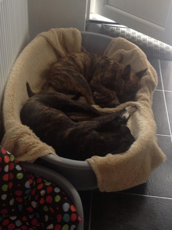 Blake & Billy (@Brindleboys): cuddles. @1robbiemclellan http://t.co/hDtQ6S0yo1