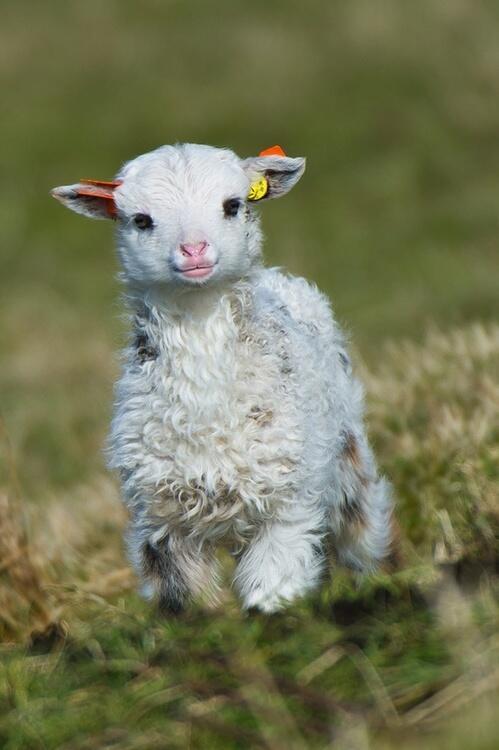 Lamb, rompin' http://t.co/z5agYkswwD