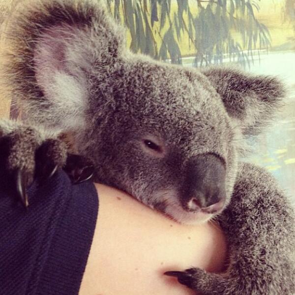 Meet Humphrey the #koala, being cuddled by @elisaparkranger at #cairnstropicalzoo (via IG) http://t.co/hCfYqPLhUg