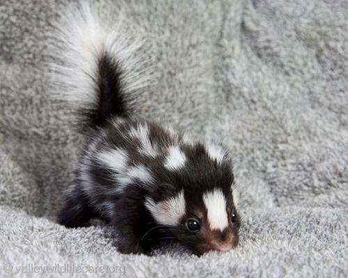 Baby skunk: menacingly cute, or a cute menace. What do you think? http://t.co/P8UaFIwEcP