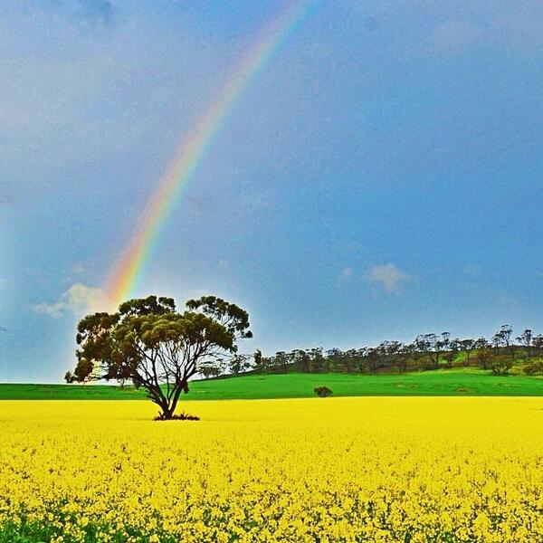 #Canola fields and #rainbows in Avon Valley in #WesternAustralia! Great shot @happymatty747! (Shared via IG) http://t.co/D28caaYw3a