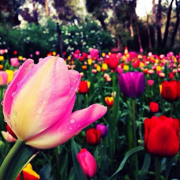 The colorful tulips at Araluen Botanic Park in Perth, WA brighten up any day! Great shot by @mynameisjosim! (via IG) http://t.co/sJbDiAbxJE