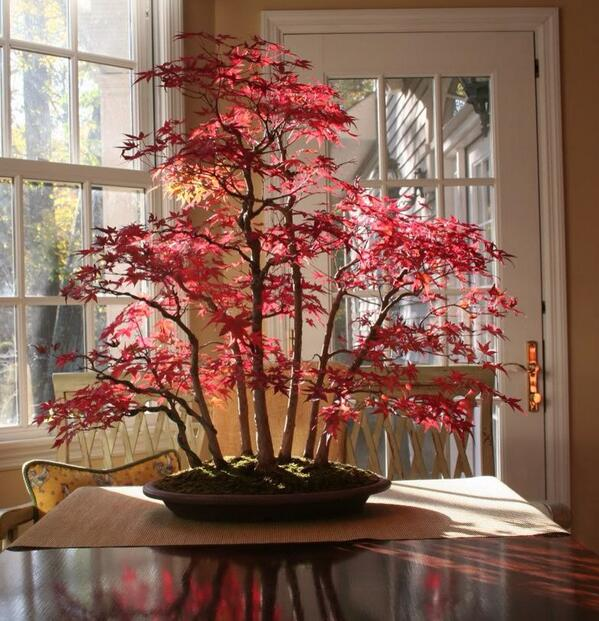 Japanese Red Maple Bonsai in Autumn http://t.co/Tgj4Q1UATQ