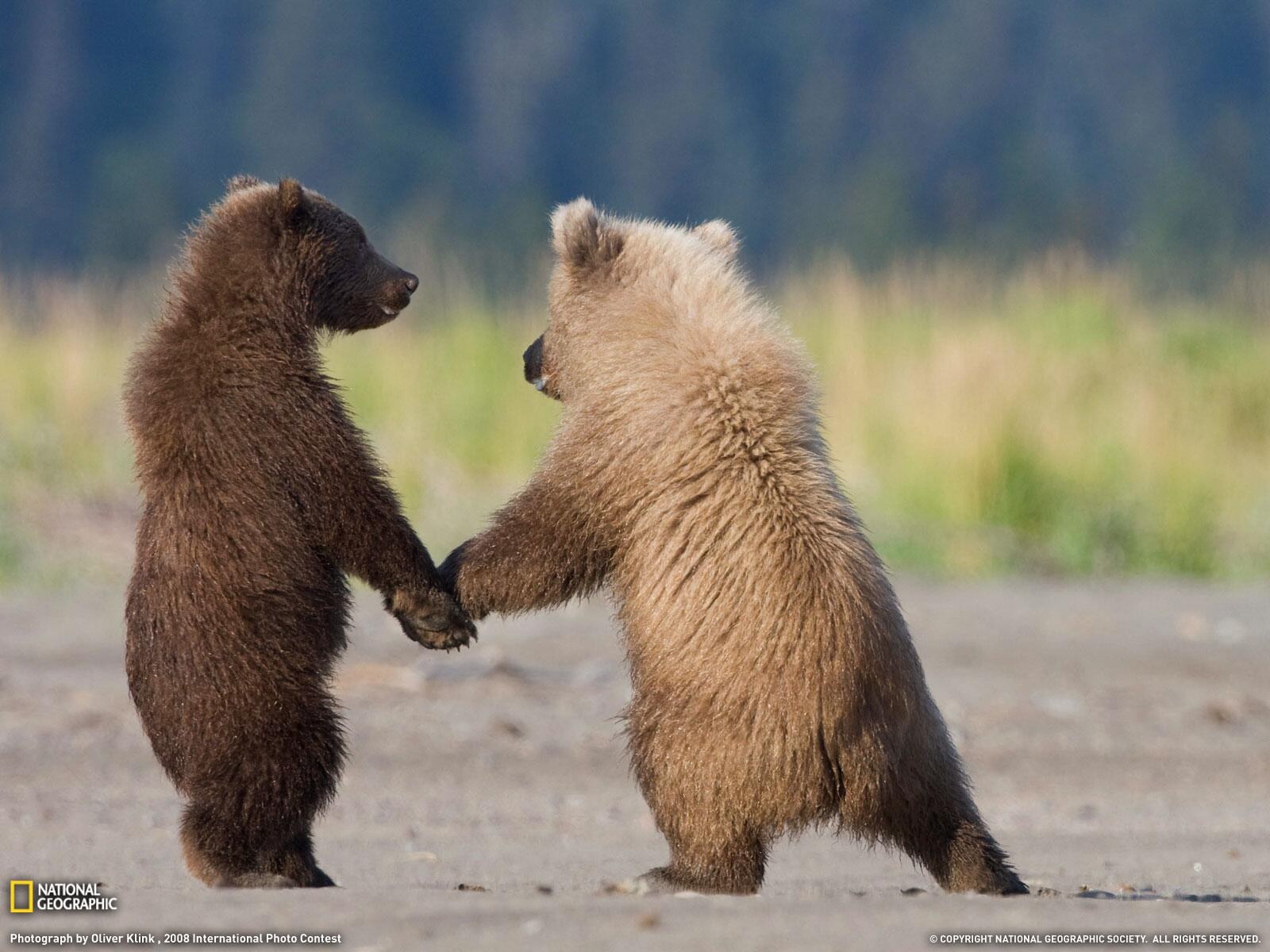 Two Grizzly Bear Cubs Sharing a Moment http://t.co/BcIM7QVxKR
