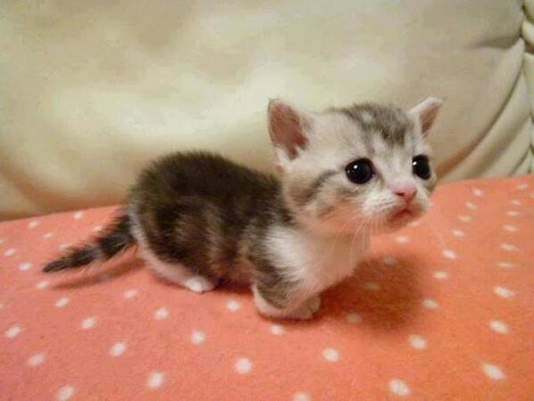Kitten, exploring a blanket fort. http://t.co/L7rTnYcOSV