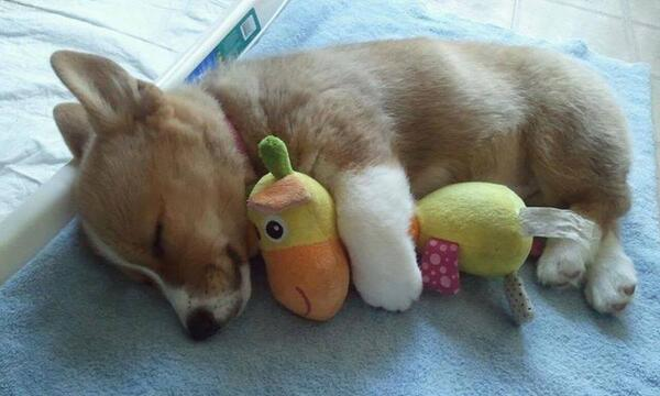 Corgi, cuddling with a toy. #naptime http://t.co/bLWjf9Buym