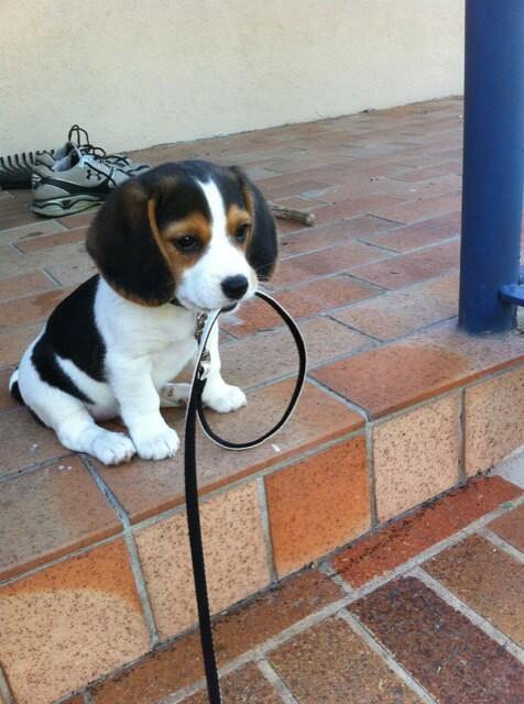 Puppy, getting ready for a walk. http://t.co/MX8IOARlWV