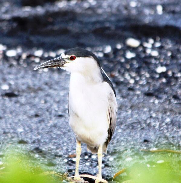 Aloha from paradise...Our resident black crowned night heron is wishing you all a happy Labor Day! http://t.co/mRrH18sbAE
