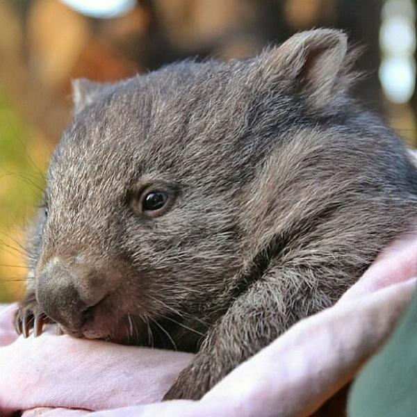 Meet Lucy! A gorgeous #wombat at Bonorong Wildlife Sanctuary that @insta_graham23 met #tassiejourney (photo via IG) http://t.co/lB1dvTFDtU