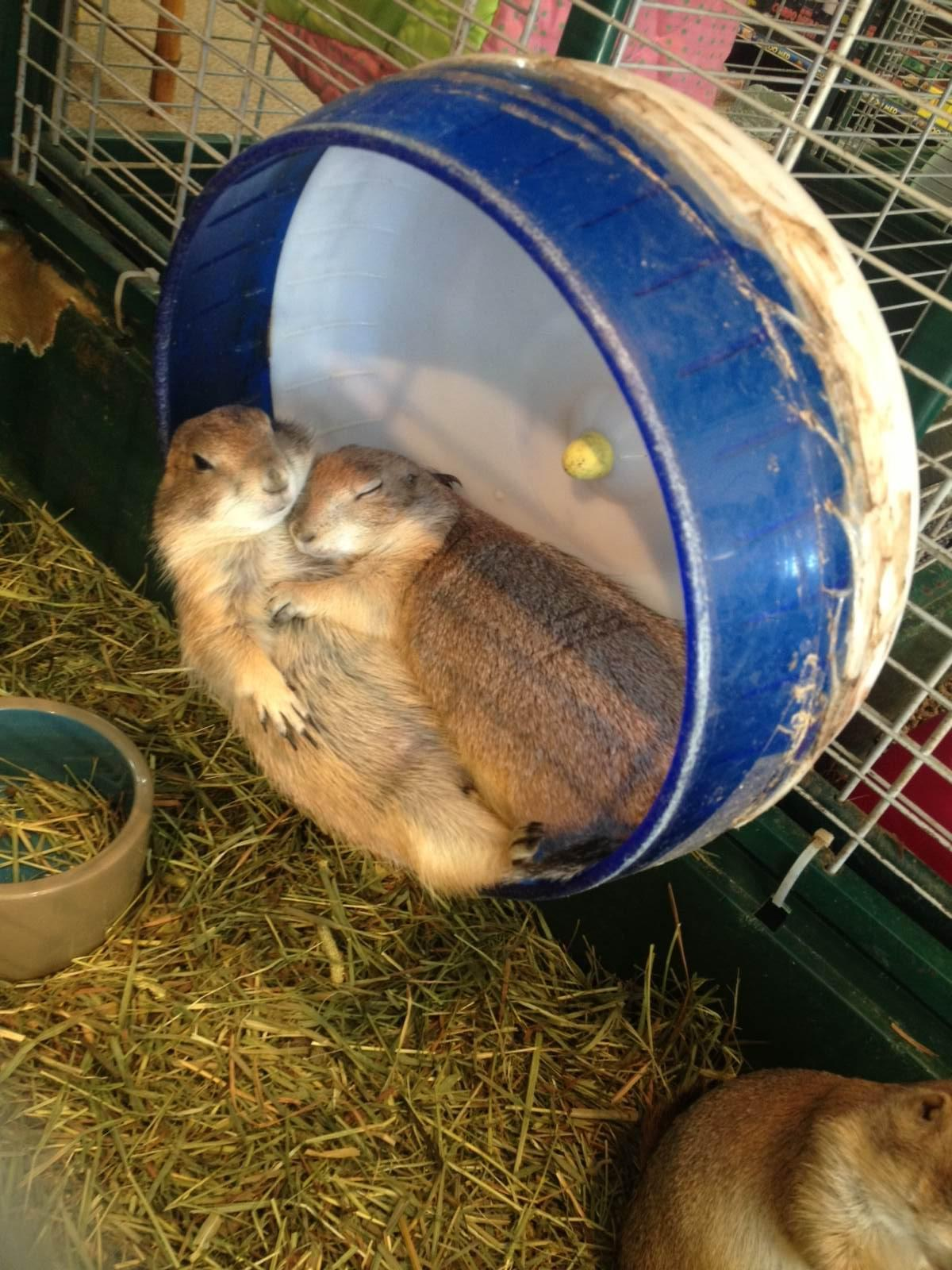 Just two prairie dogs having a cuddle session http://t.co/oDvXESoKO5
