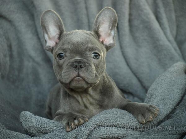 Oh my god. French bulldogs are my new obsession 😍 http://t.co/QSg7BLK7Yd
