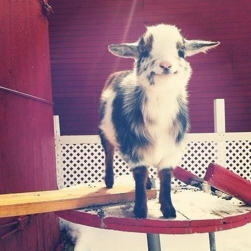 Baby goat, standing on a barrel. http://t.co/VIHtZaLemg