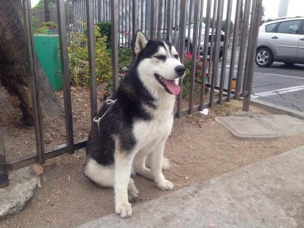 """""""@StephiieeBoo1: @kirstiealley can you please pls help me find this beautiful husky a home RT http://t.co/VXMe8IVPqM""""  take a look.. beauty"""